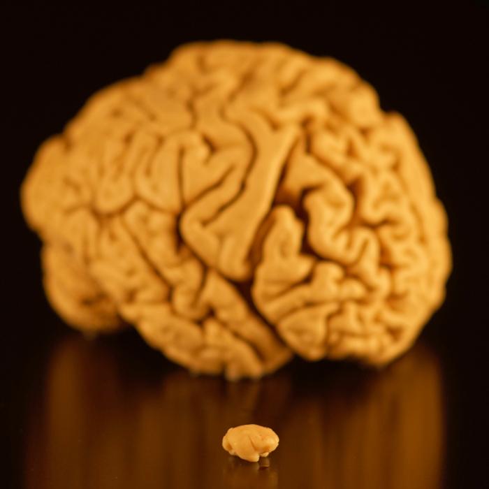 Huberlab_HFSP_Brains